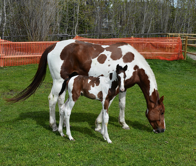 Valkyrie and colt Bengal du Rouet (tigger)
