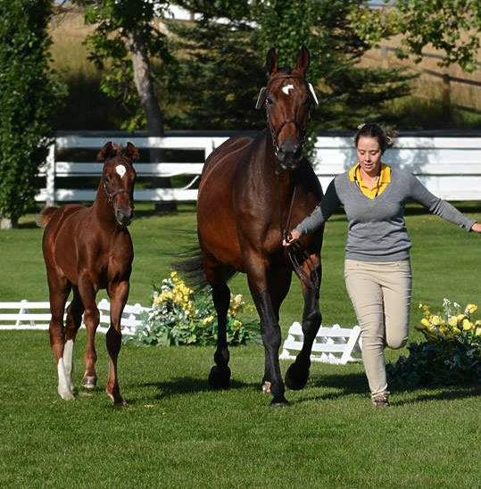 Hannoveraner Verband mare inspection baby Enya with Raffi